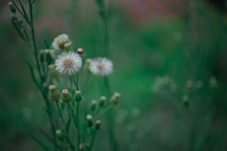 Macro Scene beautiful Dandelion Flower nature Bokeh background. 版權商用圖片 - 128924565