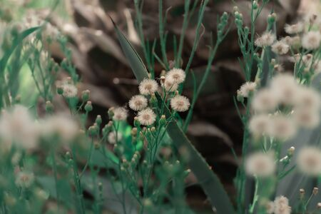Macro Scene beautiful Dandelion Flower nature Bokeh background.