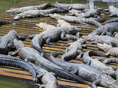 Jeugd Aligator