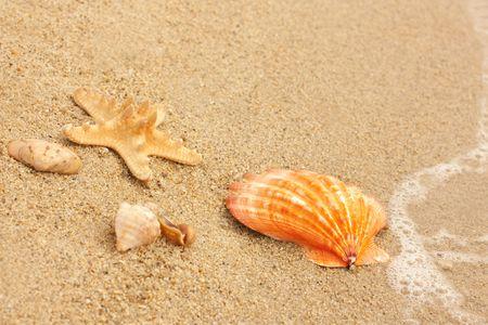 cockleshells: Cockleshells and a starfish lie on seacoast