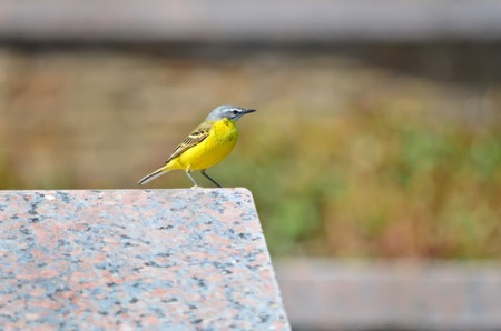 motacilla: Yellow wagtail in its natural habitat  Motacilla flava
