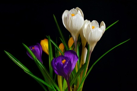 Bouquet of colorful crocuses, white, yellow, purple on a black background  photo