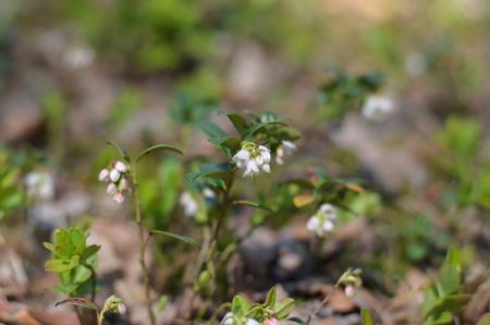 Vaccinium vitis-idaea. Lingonberry flowers in forest. Wild flora of Ukraine. (Shallow depth of field) Stock Photo