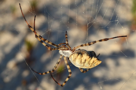 Araneidae. Argiope lobata spider on a spiderweb. Fauna of Ukraine. Stock Photo