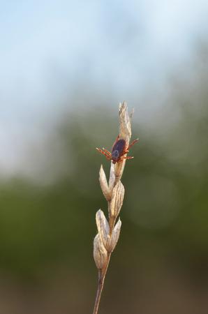 Tick on dry blade of grass. Dermacentor. Fauna of Ukraine. Stock Photo