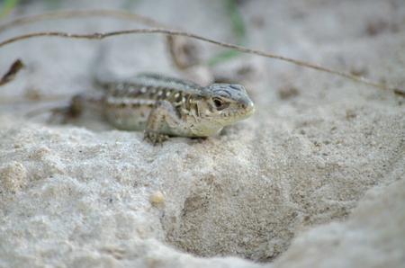 Sand lizard inhabiting the Kiev region. Fauna of Ukraine. 스톡 콘텐츠