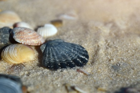 Seashells on the sandy beach of the Black Sea coast, Ukraine. Shallow depth of field, close-up. 版權商用圖片