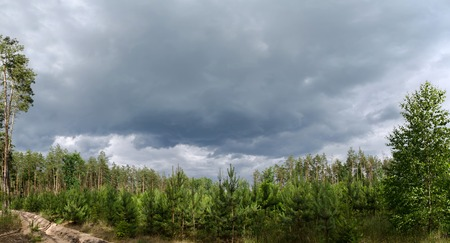 Panoramic view with stormy sky over young coniferous forest on the site of the old felling. Landscape of Ukraine, Kyiv region.