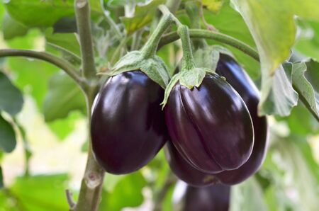 Ripe purple eggplants growing in the vegetable garden. Shallow depth of field, selective focus.