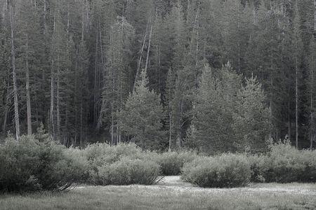 Meadow in a pine tree forest Stok Fotoğraf