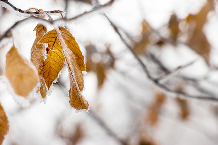 Faint yellow leaf of bird cherry tree with hoarfrost on branch. Concept wallpaper autumn or early winter. Selective focus. Close up. Stock Photo