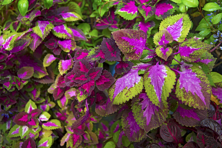 beautiful plant with bright lilac sheets and streaks. Botanical Garden Stock Photo