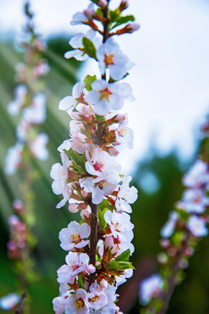 bush fire: lots of beautiful bright light flowers, inflorescences grow on the hive, bright white flowers Stock Photo