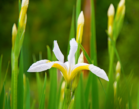 beautiful whiter irises grow up surrounded by green leaves, bright interesting flowers. sunny day Stock Photo