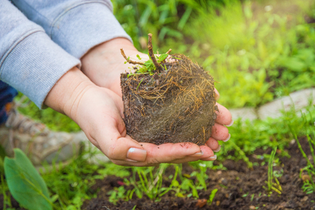 transplants: woman strands plant into the ground, his hands holding a young flower which transplants in soil ecology protection