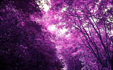 Magic purple forest, covert in mystical lilac colour. Magic purple forest, covert in Mystic lilac color. bright juicy Park Stock Photo