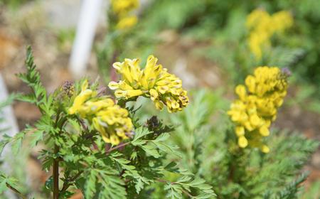 Bright yellow flowers shrub with succulent yellow flowers bright yellow flowers shrub with succulent yellow flowers botanical garden stock photo 80616369 mightylinksfo
