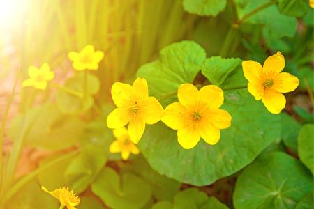 Bright yellow flowers shrub with succulent yellow flowers bright yellow flowers shrub with succulent yellow flowers botanical garden stock photo 80756371 mightylinksfo