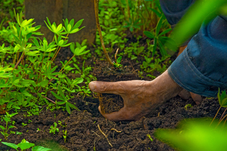 transplants: an elderly man in the ground, plant sadil hands flower transplants in the ground. the protection of ecology