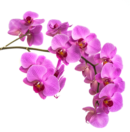 orchids on isolated background. beautiful flower branches orchids on white background Stock Photo