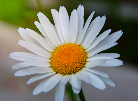 bright white Daisy, white petals and yellow middle, in the garden
