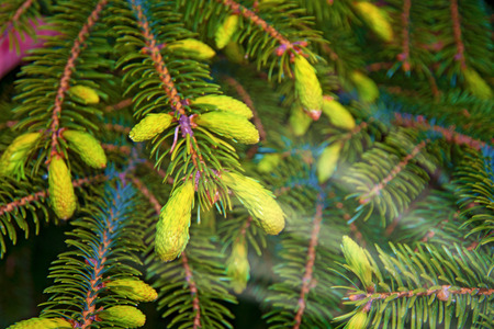 Paws Christmas trees are decorated with bright colorful buds, a beautiful spruce forest. Christmas tree