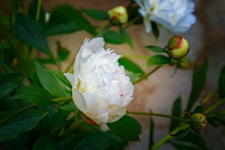 large, white peonies, many petals and juicy flower. in the bush