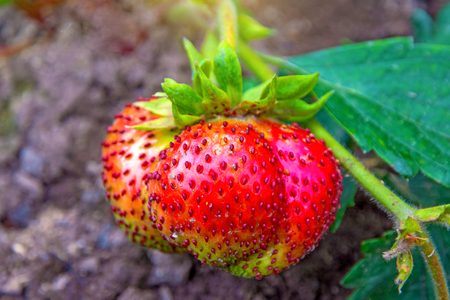 bright red Strawberry grows on a Bush, from the land of rising young strawberry. seedbeds