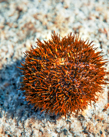 beautiful sea Hedgehog many poisonous needles. lies on the stone