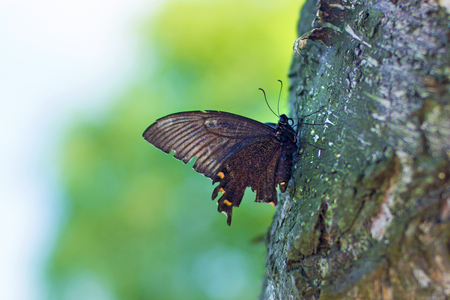a large swallowtail is sitting on the tree. Butterfly on the plants. on a sunny day Stock Photo
