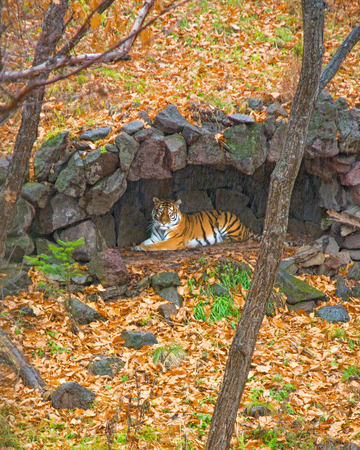 Amur tiger hid under a canopy of rain. beautiful big cat in the Woods. Taiga 스톡 콘텐츠