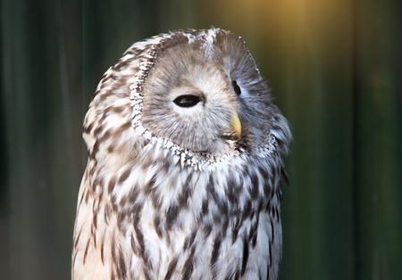 Ural owl sitting on a branch. beautiful owl.