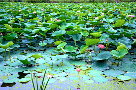 Lotus Lake, largest lake completely decorated with lotuses. pink flowers Imagens - 90055866