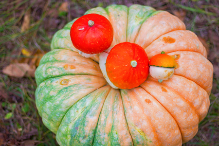 large and small pumpkins, with ripe vegetables, lie on the grass. autumn still life