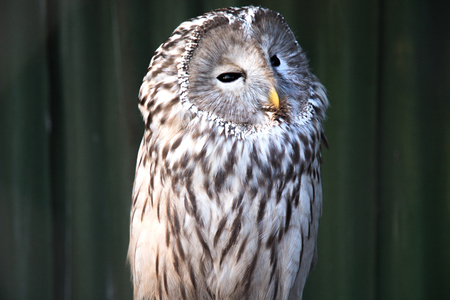 Ural owl sitting on a branch. beautiful owl. in nature
