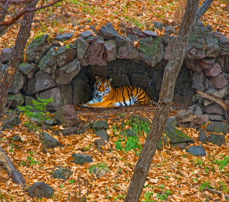 Amur tiger hid under a canopy of rain. beautiful big cat in the Woods. Taiga Banque d'images