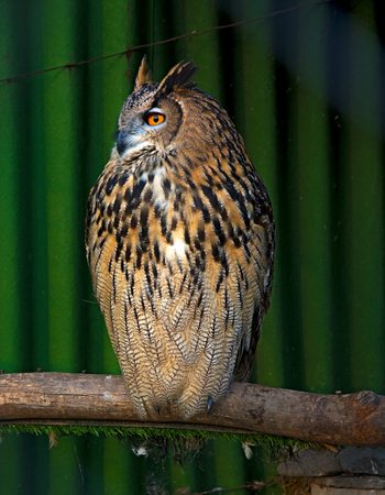 big beautiful owl sitting on a branch. unblinking eyes. in nature
