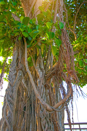 high old trees with roots hanging down from above. flowering trees with roots from the grid. Tropical asia Stock Photo