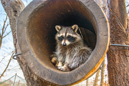 beautiful fluffy raccoon, sitting in the hollow and looks out of it. in nature Archivio Fotografico