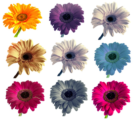 lots of big beautiful flowers Gerbera with no background, Gerber on isolated background set of colors. isolate Foto de archivo