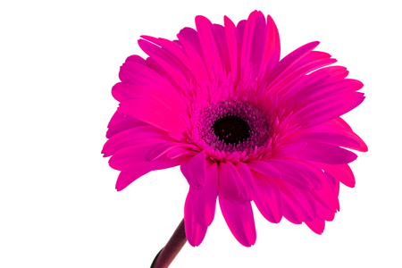 Big beautiful flowers of Gerbera, Gerbera flowers isolates. white background. Gerbera flowers without background