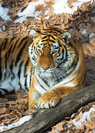 big tiger in the snow, the beautiful, wild, striped cat, in open Woods, looking directly at us. snowy winter in the taiga Banque d'images