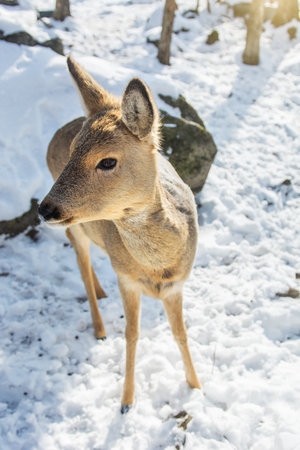 beautiful deer on snow land, young high deer looks at us. Taiga