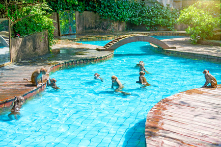 many monkeys swim in the pool, eat play and bask in the sun, the tropics. monkey island Stock Photo