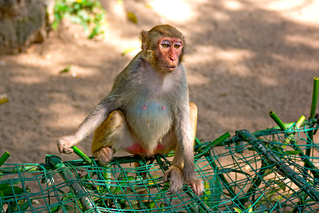 monkeys running around in the jungle, eating. small and big plays and bask in the Sun. Monkey Island Stock Photo