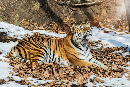big tiger in the snow, the beautiful, wild, striped cat, in open Woods, looking directly at us. snowy winter in the taiga