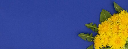 Baner. Five yellow dandelions with leaves lies beautifully in the right corner on a dark blue surface. Place for text. Spring or summer background.