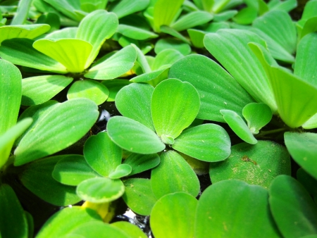waterweed: green waterweed or green water plants in pool Stock Photo