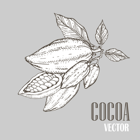 nutrient: Hand painted cocoa botany illustration. Decorative doodle of healthy nutrient food.