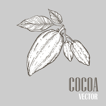 coffee tree: Hand painted cocoa botany illustration. Decorative doodle of healthy nutrient food.